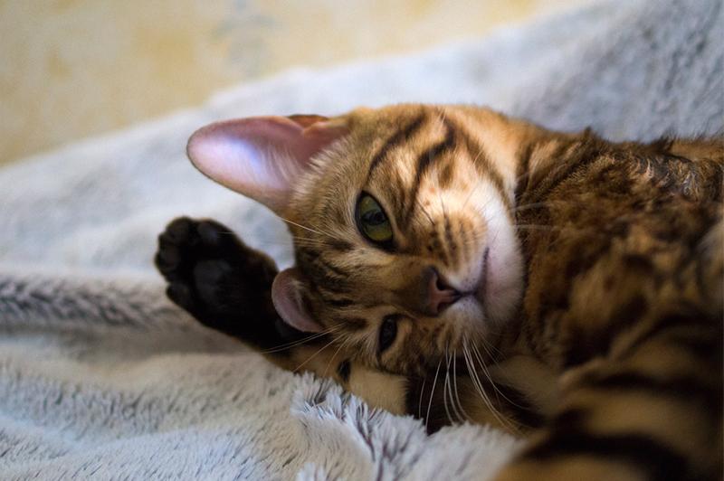 Kopi Cat
